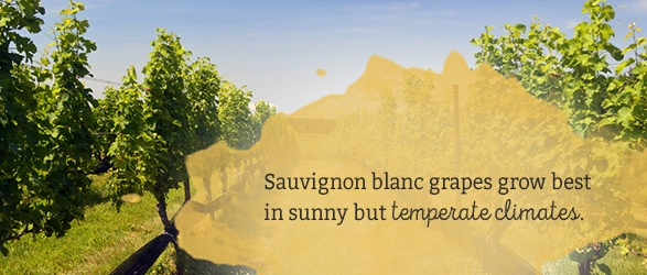 Sauvignon blanc grapes grow best in sunny but temperate climates.