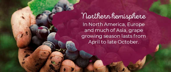 Northern hemisphere: In North America, Europe and much of Asia, grape growing season lasts from April to late October.