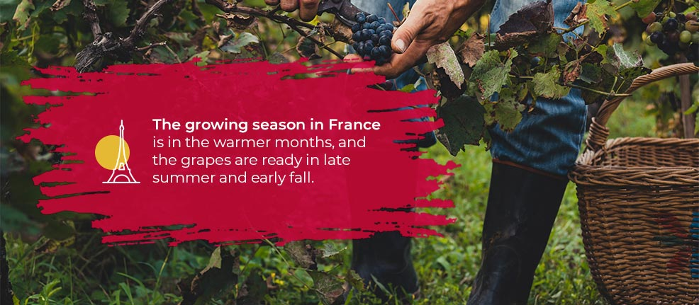 The growing season in France is in the warmer months, and the grapes are ready in late summer and early fall.