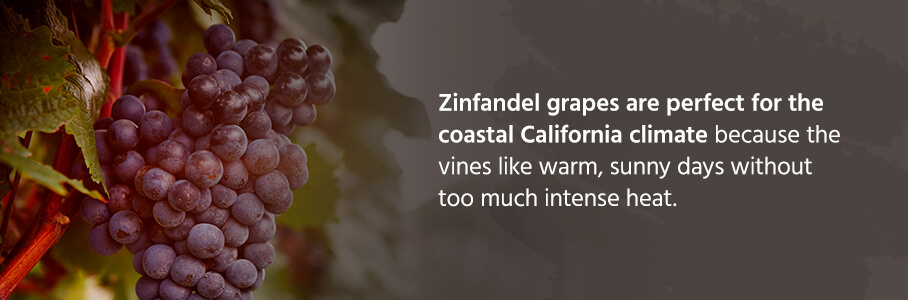 Zinfandel grapes are perfect for the coastal California climate because the vines like warm, sunny days without too much intense heat.